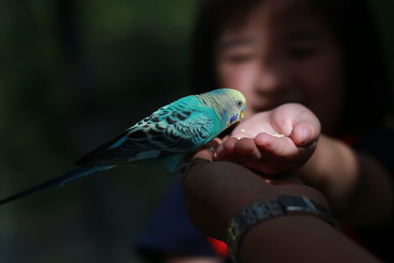 beskurna Hand Of Person Feeding Budgerigar In Darkroom